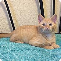 Adopt A Pet :: BUTTERFINGER - CANDY CUTIE PIE - Plano, TX