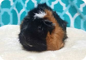 Guinea Pig for adoption in South Bend, Indiana - Polly-I'm Going Home!!!