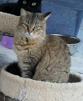 Domestic Longhair Cat for adoption in Centerton, Arkansas - Fiona