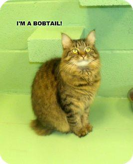 Bombay Cat for adoption in Gadsden, Alabama - Sophia