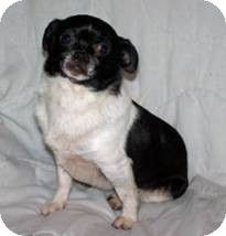 Chihuahua Mix Dog for adoption in Seattle, Washington - Molly