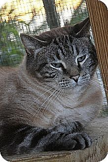Siamese Cat for adoption in Bryson City, North Carolina - Buddy