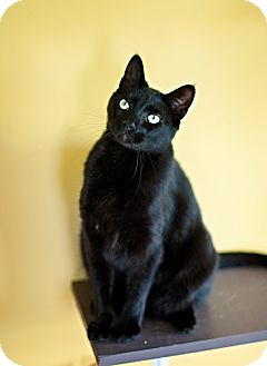 Domestic Shorthair Cat for adoption in Carencro, Louisiana - Cypher