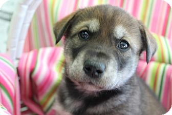 Husky/Labrador Retriever Mix Puppy for adoption in Garden City, Michigan - Margarita