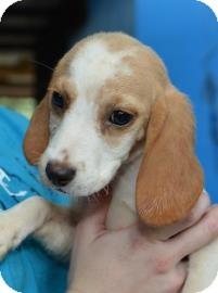 Hound (Unknown Type)/Beagle Mix Puppy for adoption in Gainesville, Florida - Degas