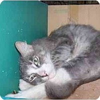 Domestic Mediumhair Cat for adoption in Los Angeles, California - Charlie