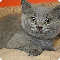 Adopt A Pet :: RONNIE - SILVER SPRING, MD