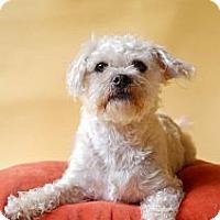 Adopt A Pet :: Shay - Milan, NY