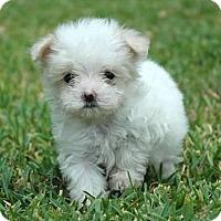 Adopt A Pet :: Teeny Tiny Peter - La Habra Heights, CA
