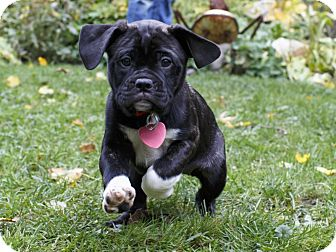 pug and pitbull mix venus adopted puppy ile perrot qc pug pit bull 6469