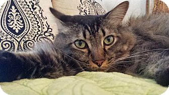 Maine Coon Cat for adoption in Santa Ana, California - Dexter
