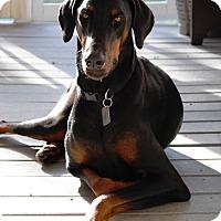 Adopt A Pet :: Bo - Arlington, VA