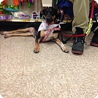Adopt A Pet :: Lanie - Delaware, OH