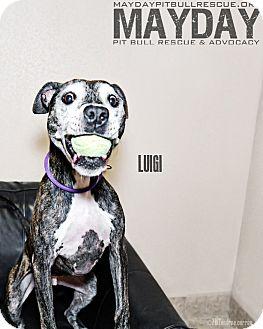 American Pit Bull Terrier Mix Dog for adoption in Phoenix, Arizona - Luigi