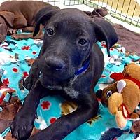 Adopt A Pet :: Lyanna's pup Bran - Tucson, AZ