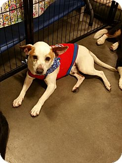 Jack Russell Terrier Mix Dog for adoption in Alexis, North Carolina - Bobby