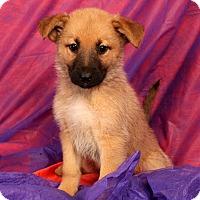 Adopt A Pet :: Sasha Gsmix - St. Louis, MO