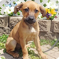 Adopt A Pet :: Isla - West Chicago, IL
