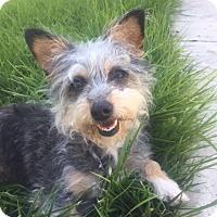 Adopt A Pet :: Rosie - Vacaville, CA