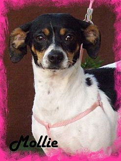 Toy Fox Terrier/Dachshund Mix Dog for adoption in Anaheim Hills, California - Mollie