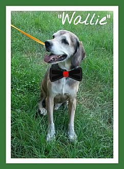 Beagle Dog for adoption in Ocala, Florida - Wallie