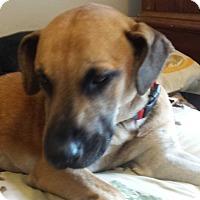 Adopt A Pet :: Shiloh - Lodi, CA
