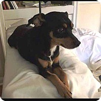 Miniature Pinscher/Rat Terrier Mix Dog for adoption in Richmond, Kentucky - Jackson
