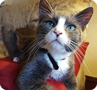 Domestic Shorthair Cat for adoption in St. Louis, Missouri - Lance