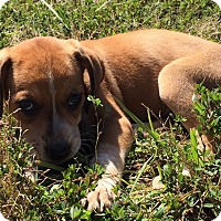 Adopt A Pet :: Baby Swiss - Hagerstown, MD
