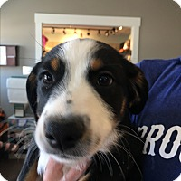 Adopt A Pet :: Angelo - St. Charles, MO