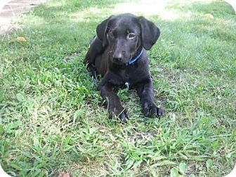 Labrador Retriever Mix Puppy for adoption in Brooklyn Center, Minnesota - Keaton