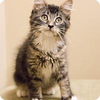 Adopt A Pet :: Meowington - Chicago, IL