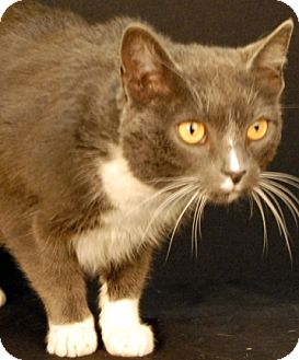 Domestic Shorthair Cat for adoption in Newland, North Carolina - Mouse