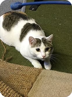 American Shorthair Cat for adoption in Butner, North Carolina - Sweet Pea