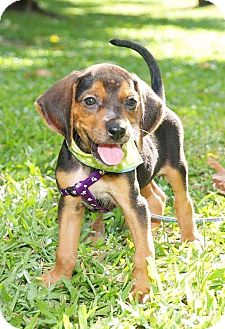 Basset Hound/Bloodhound Mix Puppy for adoption in Temple City, California - Antony