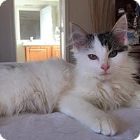 Domestic Longhair Kitten for adoption in Fenton, Missouri - Snow