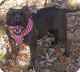 Terrier (Unknown Type, Medium)/Pit Bull Terrier Mix Dog for adoption in Voorhees, New Jersey - Tabatha