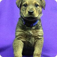 Adopt A Pet :: LARA - Westminster, CO