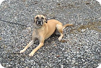 Rhodesian Ridgeback Mix Dog for adoption in Bedford, Virginia - Cindy