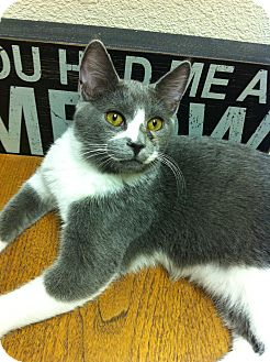 Domestic Shorthair Cat for adoption in Fountain Hills, Arizona - ASHE