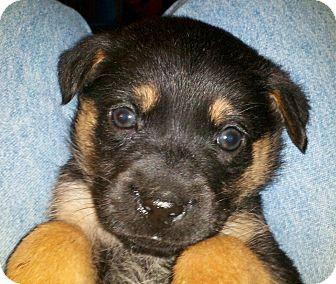German Shepherd Dog/Labrador Retriever Mix Puppy for adoption in Torrance, California - MISSY