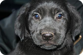Golden Retriever/Rottweiler Mix Puppy for adoption in Bedminster, New Jersey - Miranda Lambert