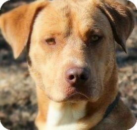 Labrador Retriever/Chesapeake Bay Retriever Mix Dog for adoption in Wakefield, Rhode Island - GATSBY(SMART-LOVING-GORGEOUS!