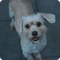Adopt A Pet :: Lela -Terripoo! - Canoga Park, CA