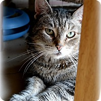Domestic Shorthair Cat for adoption in Trevose, Pennsylvania - Lily