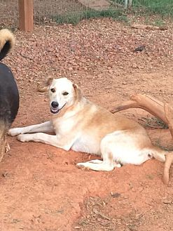 Labrador Retriever Dog for adoption in Albemarle, North Carolina - Sambo