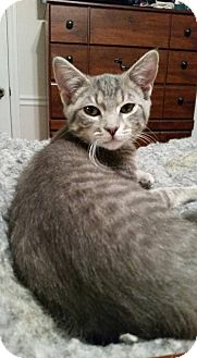 Domestic Shorthair Cat for adoption in Chatham, Virginia - Chance