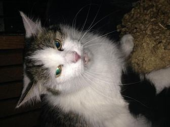 Domestic Longhair Cat for adoption in Fresno, California - Candy