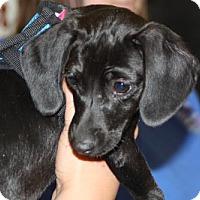 Adopt A Pet :: Katie - Aurora, CO