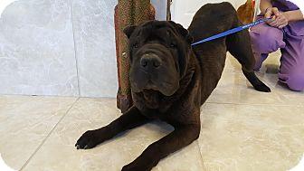 Shar Pei Dog for adoption in Mira Loma, California - Eggroll in TX- pending